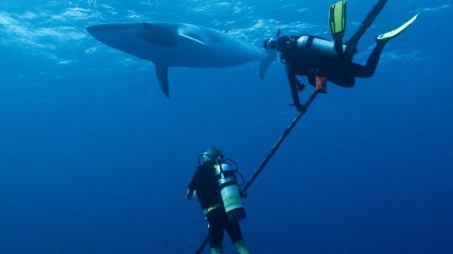 If you're lucky then a Minke Whales encounter is possible while diving the Great Barrier Reef. Be sure to dive between the months of May to July though to have greater chance of seeing and meeting these marine creatures.