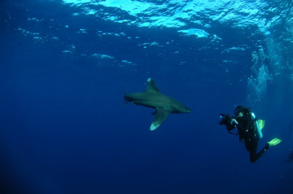 This Oceanic Whitetip Shark can be seen in some areas of the Red Sea specifically on the months of May to June.