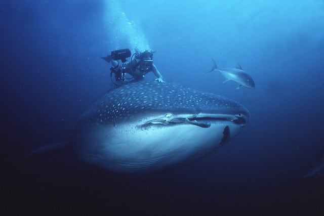 Diving with the Whale Sharks in Similan Islands will definitely make your liveaboard diving even more memorable!