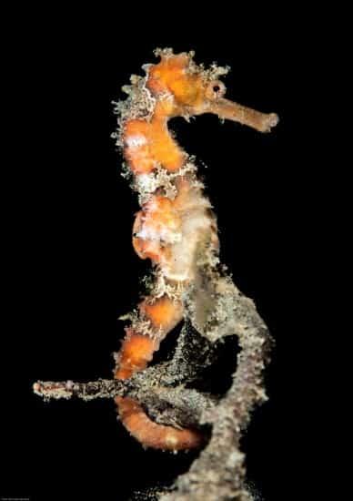 Nicholas Samaras_ GuyLian Seahorses