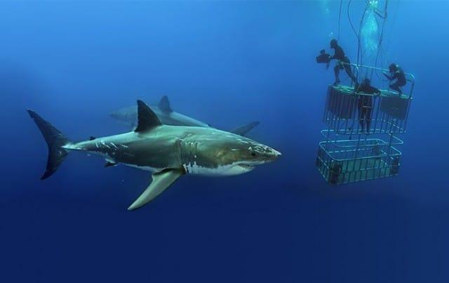 nautilus-explorer-shark-diving-guadalupe-island