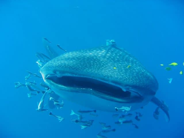 <a href='http://divezone.net/whale-shark'>whale shark</a> scuba diving in the seychelles