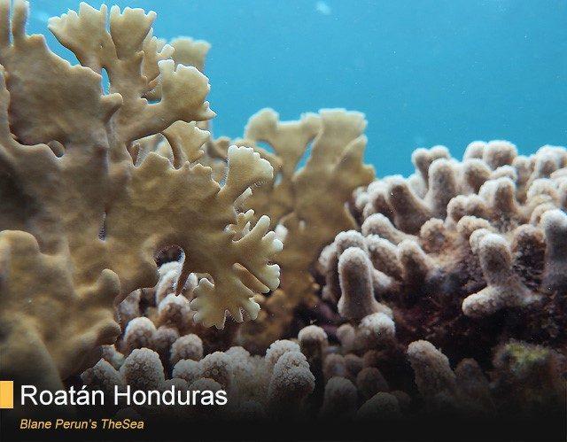coral reef scuba diving roatan