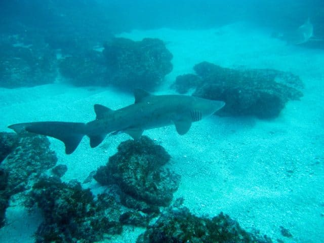 best summer diving destination south africa rigged tooth shark