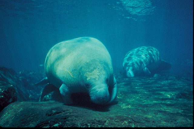 dive with the florida manatee
