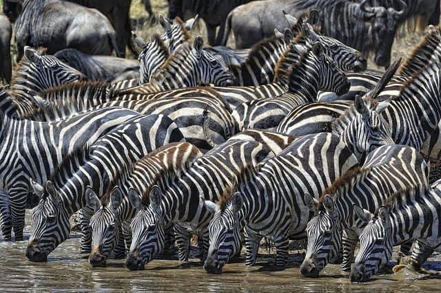 Zebras drinking at the watering hole, Serengeti, Tanzania